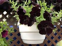 罕见的在白色罐的花品种黑天鹅绒喇叭花 免版税库存照片