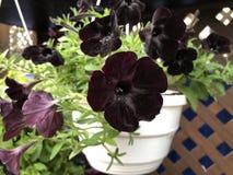 罕见的在白色罐的花品种黑天鹅绒喇叭花 图库摄影