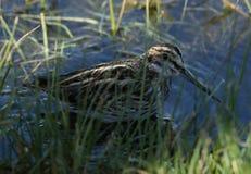罕见的小鹬& x28; Lymnocryptes minimus& x29;掩藏在沼泽地 库存照片