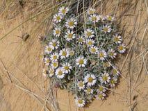 罕见的微小的白花在沙漠 库存图片