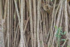 罕见的树在泰国 免版税库存照片