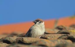 罕见的树麻雀,传球手montanus,在一个瓦片在背景中栖息,在一个屋顶,有蓝天的 库存图片