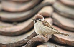 罕见的树麻雀,传球手montanus,在一个瓦片栖息,在一个屋顶,有嘴的有很多昆虫喂养它的婴孩 免版税库存图片