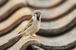 罕见的树麻雀,传球手montanus,在一个瓦片栖息,在一个屋顶,有嘴的有很多昆虫喂养它的婴孩 免版税库存照片