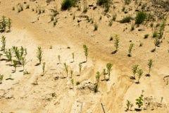 罕见的植物在含沙沙漠 卡累利阿人的地峡,花 图库摄影