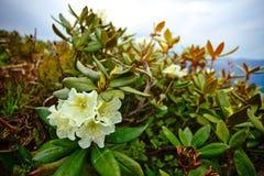 罕见的狂放的杜鹃花在高加索Mo的高山草甸 免版税库存图片