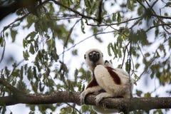 罕见的狐猴被加冠的Sifaka, Propithecus Coquerel,在树的饲料离开, Ankarafantsika储备,马达加斯加 免版税库存图片
