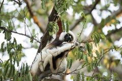 罕见的狐猴被加冠的Sifaka, Propithecus Coquerel,在树的饲料离开, Ankarafantsika储备,马达加斯加 图库摄影