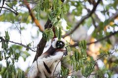 罕见的狐猴被加冠的Sifaka, Propithecus Coquerel,在树的饲料离开, Ankarafantsika储备,马达加斯加 免版税库存照片