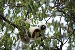 罕见的狐猴被加冠的Sifaka, Propithecus Coquerel,在树的饲料离开, Ankarafantsika储备,马达加斯加 库存图片