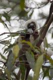 罕见的狐猴被加冠的Sifaka, Propithecus Coquerel,在树的饲料离开, Ankarafantsika储备,马达加斯加 库存照片