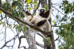 罕见的狐猴被加冠的Sifaka, Propithecus Coquerel,有崽的一位女性坐树, Ankarafantsika储备,马达加斯加 库存照片