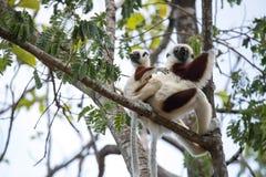 罕见的狐猴被加冠的Sifaka, Propithecus Coquerel,有崽的一位女性坐树, Ankarafantsika储备,马达加斯加 免版税库存图片