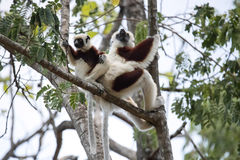 罕见的狐猴被加冠的Sifaka, Propithecus Coquerel,有崽的一位女性坐树, Ankarafantsika储备,马达加斯加 图库摄影