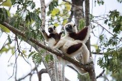 罕见的狐猴被加冠的Sifaka, Propithecus Coquerel,有崽的一位女性坐树, Ankarafantsika储备,马达加斯加 免版税图库摄影