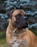 罕见的狗品种 一个美好的狗品种在绿色和琥珀色的草背景的南非Boerboel的特写镜头画象 图库摄影