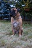 罕见的狗品种 一个美好的狗品种在绿色和琥珀色的草背景的南非Boerboel的特写镜头画象 免版税库存照片