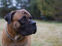 罕见的狗品种 一个美好的狗品种在绿色和琥珀色的草背景的南非Boerboel的特写镜头画象 库存照片