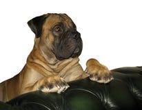 罕见的狗品种 狗-在白色背景的南非Boerboel南非大型猛犬, i一个罕见的品种的特写镜头画象  免版税库存图片