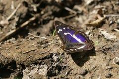 罕见的男性帝王紫蛱蝶蝴蝶闪蛱蝶属虹膜在探查为矿物的地面上栖息 免版税图库摄影