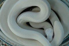 罕见的白变种白色蛇爱好 图库摄影