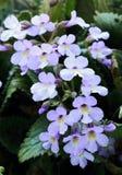 罕见的花Haberlea rhodopensis 免版税库存图片