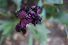 罕见的虹膜,黑暗的紫色花 库存照片