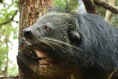 罕见的野生动物熊猫 免版税图库摄影