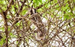 罕见的面无血色的猫头鹰 库存图片