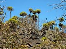 罕见的仙人掌树 库存图片
