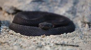 罕见的黑响尾蛇 库存照片