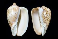 罕见的Cymbiola nobilis海军陆战队员贝壳 免版税库存照片