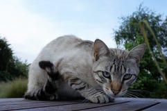 罕见的ojos azules蓝眼睛的猫坐一张木桌 免版税库存照片