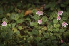 罕见的Twinflower Linnaea borealis 免版税库存照片