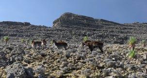 罕见的Walia高地山羊在西米昂山埃塞俄比亚 股票视频
