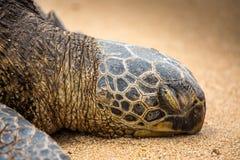 罕见睡觉夏威夷绿浪乌龟 库存照片