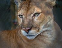 罕见,危险,在外形的佛罗里达豹 库存图片