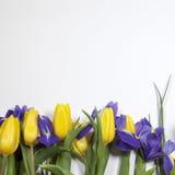 紫罗兰使xiphium球茎虹膜,与黄色郁金香的虹膜sibirica现虹彩在与空间的白色背景文本的 顶视图,平 库存图片
