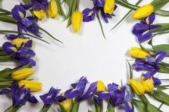 紫罗兰使xiphium球茎虹膜,与黄色郁金香的虹膜sibirica现虹彩在与空间的白色背景文本的 顶视图,平 库存照片