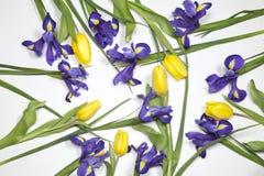 紫罗兰使xiphium球茎虹膜,与黄色郁金香的虹膜sibirica现虹彩在与空间的白色背景文本的 顶视图,平 免版税库存照片