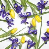 紫罗兰使xiphium球茎虹膜,与黄色郁金香的虹膜sibirica现虹彩在与空间的白色背景文本的 顶视图,平 免版税图库摄影