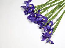 紫罗兰使xiphium球茎虹膜,在白色背景的虹膜sibirica现虹彩与文本的空间 顶视图,平的位置 免版税图库摄影