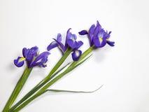 紫罗兰使xiphium球茎虹膜,在白色背景的虹膜sibirica现虹彩与文本的空间 顶视图,平的位置 库存照片