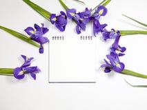 紫罗兰使xiphium球茎虹膜,在白色背景的虹膜sibirica现虹彩与文本的空间 顶视图,平的位置 免版税库存图片