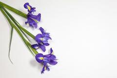 紫罗兰使xiphium球茎虹膜,在白色背景的虹膜sibirica现虹彩与文本的空间 顶视图,平的位置 库存图片
