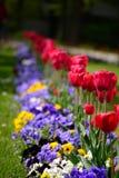 紫罗兰和郁金香在花圃 免版税库存照片