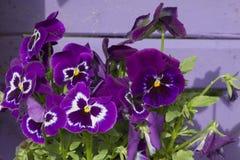 紫罗兰在庭院里 库存照片