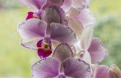 紫罗兰开花的兰花 免版税库存照片