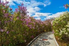 紫罗兰开花的淡紫色花和道路 库存图片