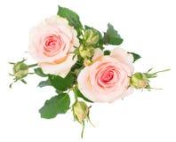 紫罗兰开花的玫瑰 库存照片